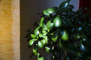 Jade plant.